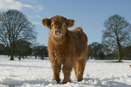 20050301cowPR 